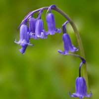 Bluebell Mull Scotland 30 06 2015