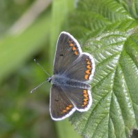 Brown Argus 2of2 Cotley Hill 09 06 2015