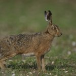 Brown Hare Choseley Norfolk