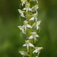 Butterfly Orchid  Collard  Hill 28 05 2015