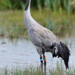 Common Crane Slimbridge Gloucestershire