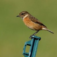 Common Stonechat Tealham Moor Somerset  UK 4th March 2016