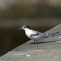 Common Tern (juv) -  Madeira (2/3)