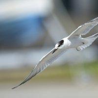 Common Tern (juv) -  Madeira (3/3)