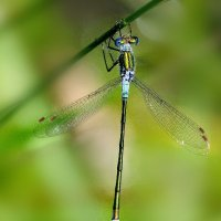 Emerald damselfly RSPB Aylesbeare 24th July 2012