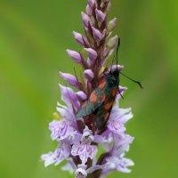 Five Spot Burnet 1of2 Cotley Hill 09 06 2015