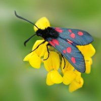 Five Spot Burnet 2of2 Cotley Hill 09 06 2015