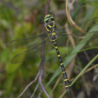 Golden Ringed Dragonfly Bystock Pools Devon UK 10th Aug 2017