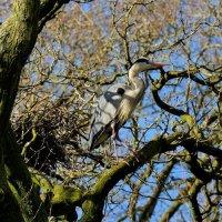 Grey Heron -  Swell Wood, Somerset, UK 20 02 2015