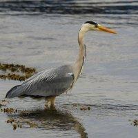 Grey Heron Mull Scotland 01 07 2015