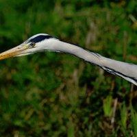 Grey Heron Tealham Moor Somerset UK 23rd March 2016