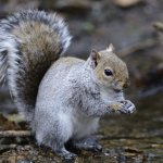 Grey Squirrel Yarner Wood