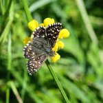 Grizzled Skipper Cotley Hill