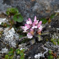 Hairy Lousewort - Svalbard