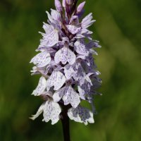 Heath Spotted Orchid RSPB Aylesbeare Devon UK 23 06 2015