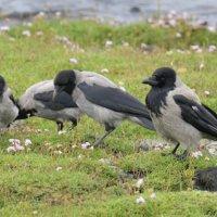Hooded Crow  Mull Scotlandl 29 06 2015