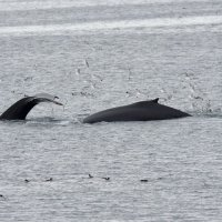 Humpback Whale - Hinlopenstretet, Svalbard (1/5)