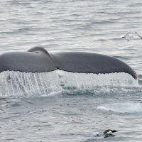 Humpback Whale - Hinlopenstretet, Svalbard (2/5)