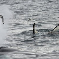 Humpback Whale - Hinlopenstretet, Svalbard (5/5)