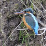 Kingfisher Slimbridge Gloucestershire
