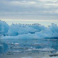 Kittiwakes on Ice - Burgerbukta, Spitsbergen (1/2)