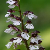 Lady Orchid 2of2 Yockletts Bank 11 06 2015
