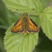 Large Skipper Cotley Hill 09 06 2015