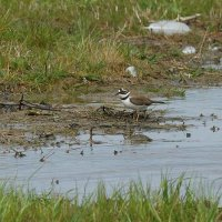 Little Ringed plover Steart Somerset UK 9th May 2016 (2)