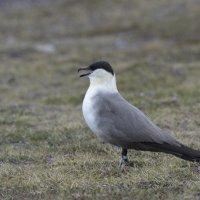 Long-tailed Skua - Blomstrandhalvoya, Spitsbergen (1/2)