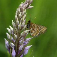 Marsh Fritillary 2of3 Cotley Hill 09 06 2015