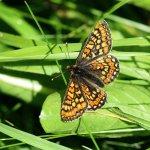 Marsh Fritillary Cotley Hill (1/5)