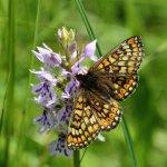 Marsh Fritillary Cotley Hill (3/5)