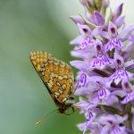 Marsh Fritillary Cotley Hill (5/5)