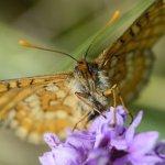 Marsh Fritillary Cotley Hill (2/5)