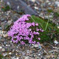 Moss Campion - Spitsbergen