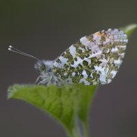 Orange Tip Butterfly male WWT Slimbridge Gloucestershire UK 17th May 2016