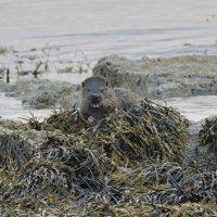 Otter Mull Scotland 01 07 2015