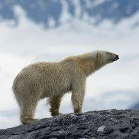 Polar Bear - Burgerbukta, Spitsbergen (2/3)