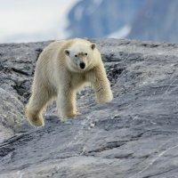Burgerbukta, Spitsbergen - Polar Bear