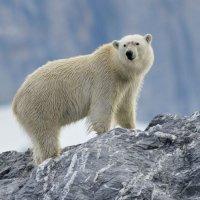 Polar Bear - Burgerbukta, Spitsbergen (3/3)