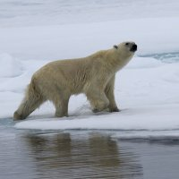 Polar Bear - North Spitsbergen (1/2)