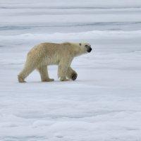 Polar Bear North Spitsbergen (2/2)