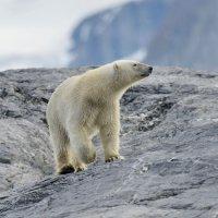 Polar Bear - Burgerbukta, Spitsbergen (1/3)