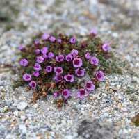 Purple Saxifrage - Svalbard