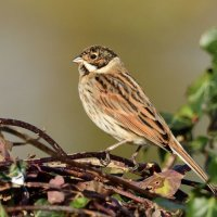 Reed Bunting RSPB Greylake Somerset 22nd Dec 2016