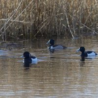 Ring necked Duck RSPB Ham Wall Somerset UK 23rd March 2016