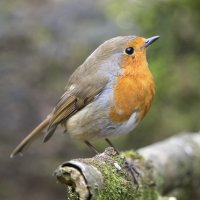 Robin - Yarner Wood, Devon, UK  12 03 2015