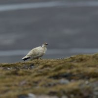 Rock  Ptarmigan - Faksevagen, Spitsbergen