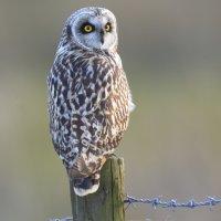 Short-eared Owl (1of2) -  Tealham Moor, Somerset, UK  25 03 2015