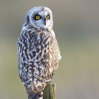 Short-eared Owl (2of2) -  Tealham Moor, Somerset, UK  25 03 2015